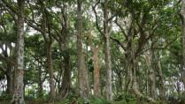 native trees pili philippines