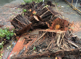What happens to all the fallen trees from Glenda?